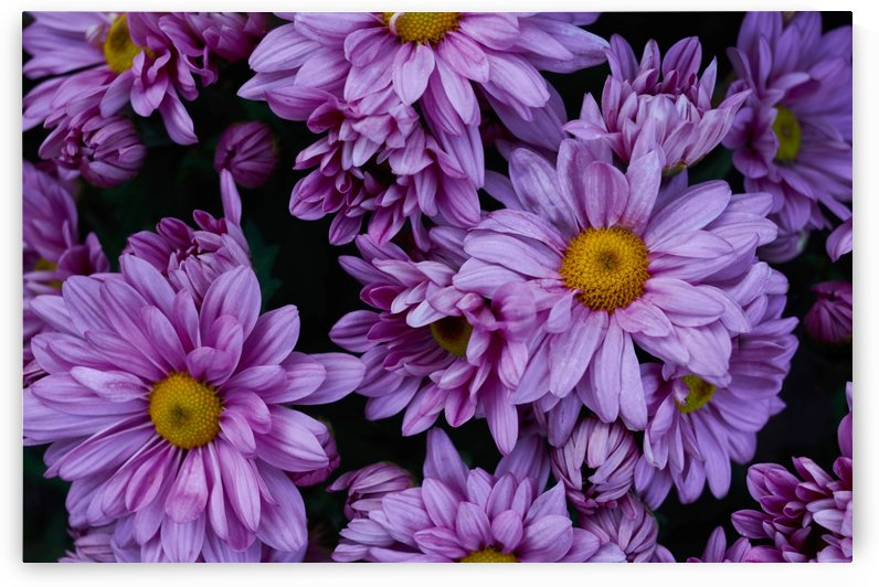 Top view of violet flowers on bloom by Krit of Studio OMG