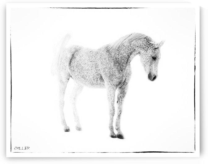 White Arabian Horse by Millersreflections