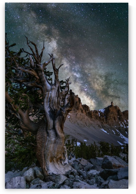 Bristlecone Pine by J  Browning Photography