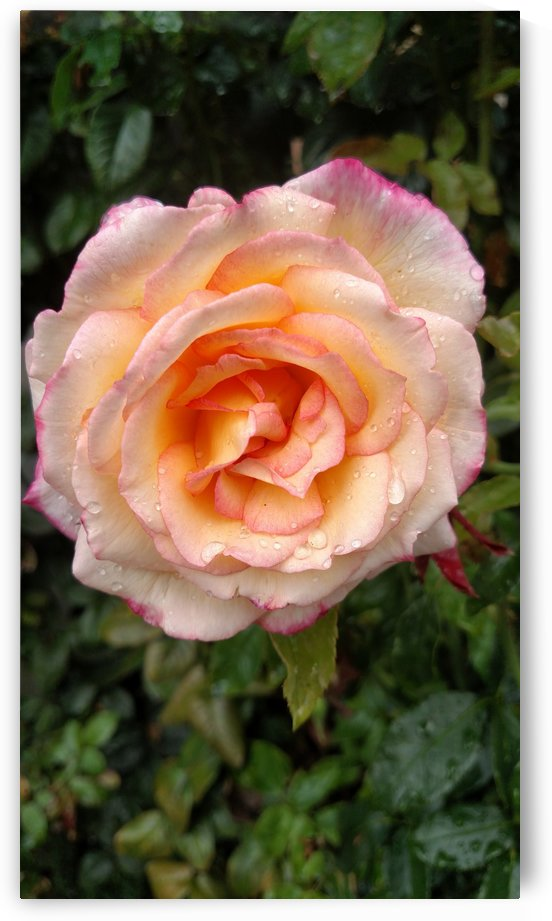 Peach Rose by Betsi Williston