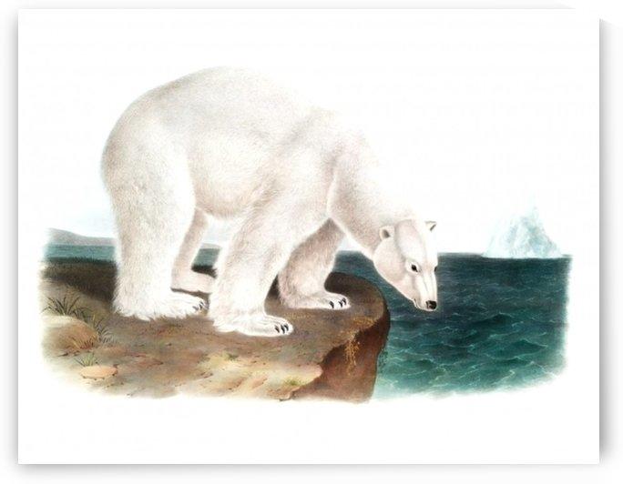 Huge Polar Bear 1800s Portrait   by Smithson