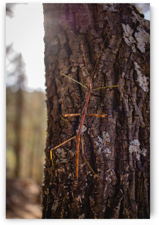 Phasmid by CZB Photography