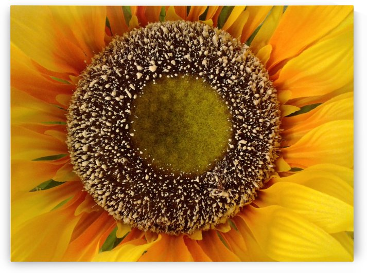 Sunflower shines by RollaD