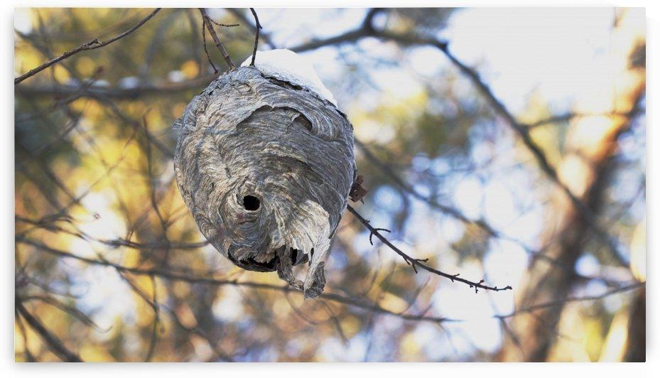 paper wasp nest in winter by Joe Riederer