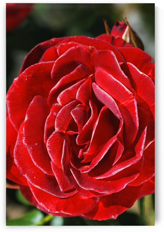 Romance Red Rose by Joy Watson