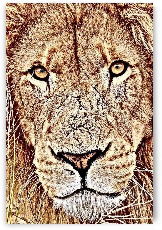 Male Lion Face thula art 1 by Thula-Photography