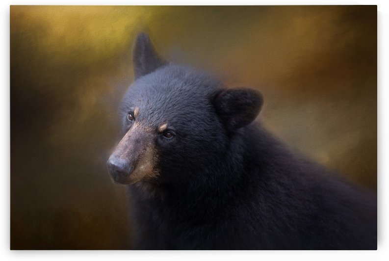 Black Bear Portrait by Michel Soucy
