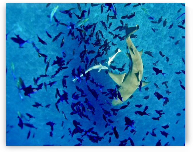 Lemon shark  by Tatiana Gonnason