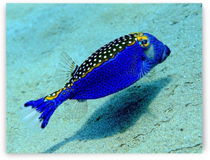 Like a blue bird blue box fish by Tatiana Gonnason