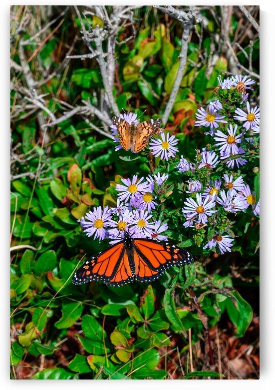 Orange Monarchs in Maine by Ed St Germain
