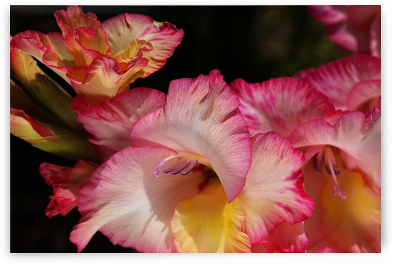 Gladiolus Flowers Delight by Joy Watson