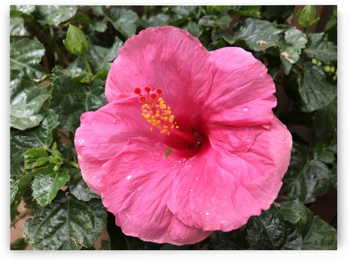 Hibiscus-1 by Dogtown Guy