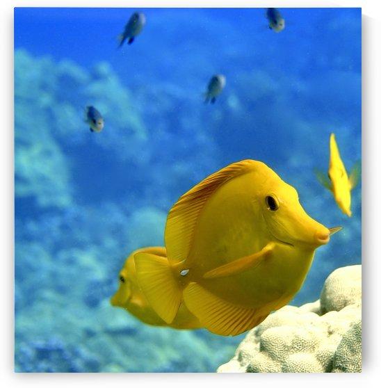 Yellow  a yellow tang  by Tatiana Gonnason
