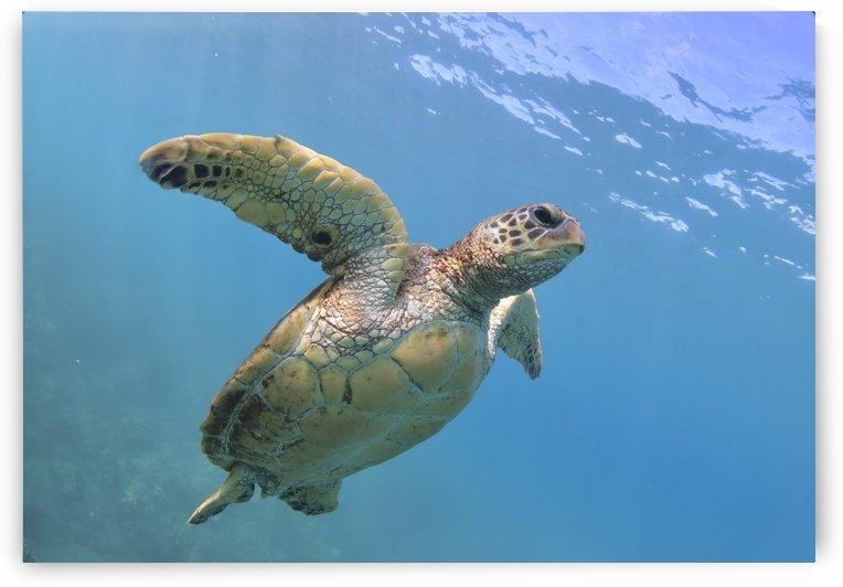 Flying. A green sea turtle  by Tatiana Gonnason