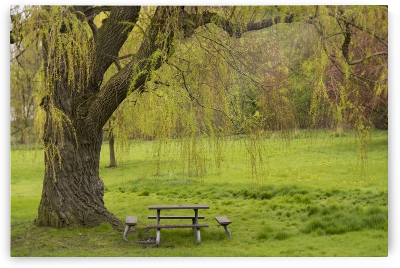 Weeping Willow in Spring by Heather Doyle