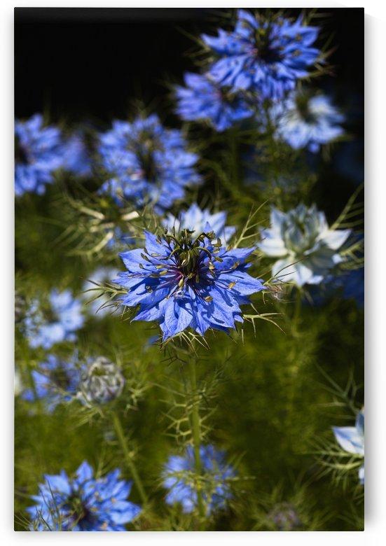 Love In The Mist Flowers by Joy Watson
