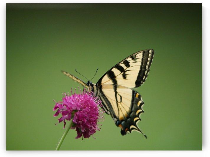 Eastern Tiger Swallowtail by Robyn Larabee
