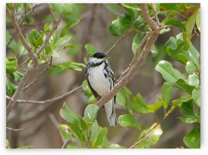 Blackpoll Warbler by Robyn Larabee