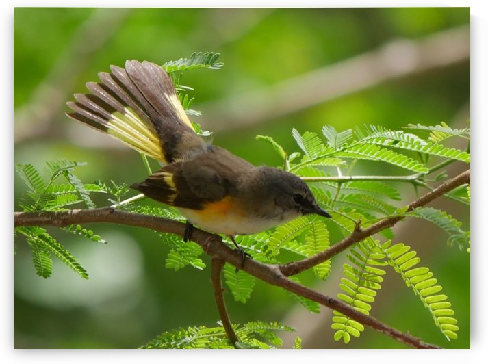 Female American Redstart by Robyn Larabee