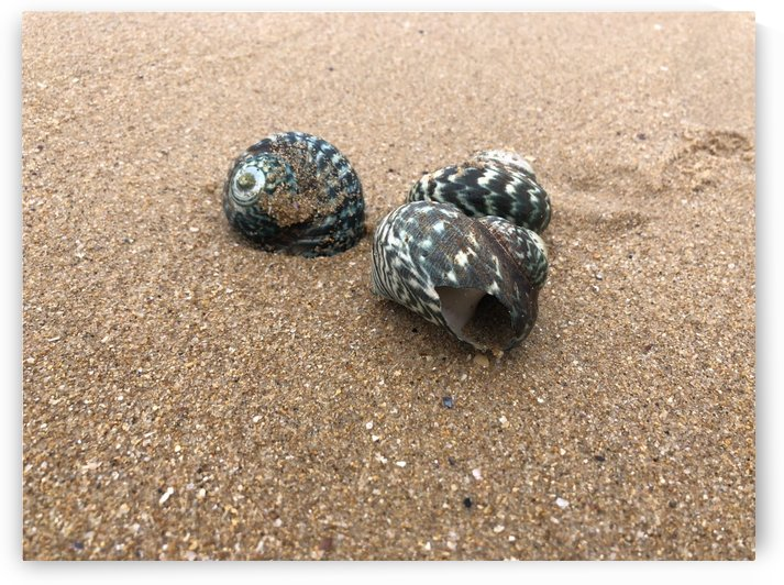 Sea Snail Shells by Jamo