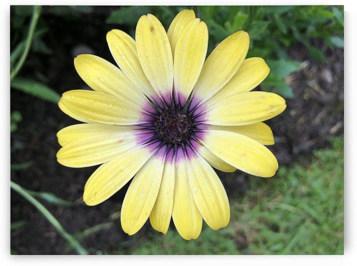 Yellow Daisy Purple Close Up by Jamo
