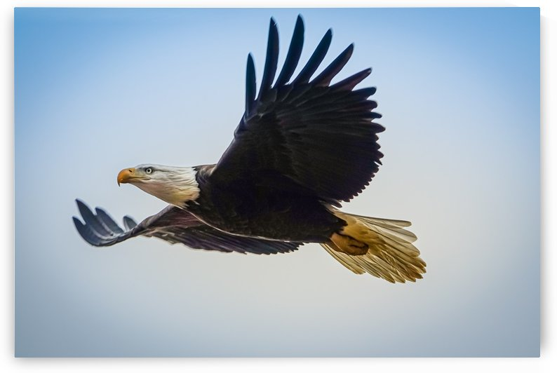 Smoky Mountain Eagle - Bright Blue Sky by RBA Photography