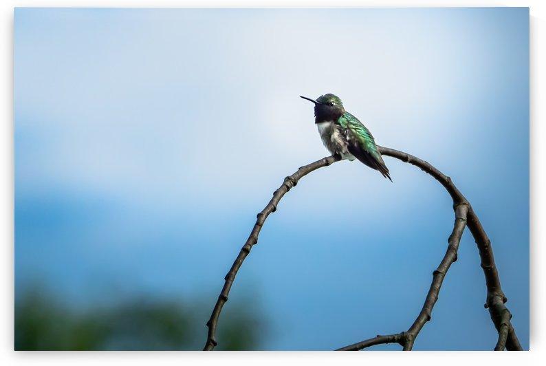 Humming Bird by RBA Photography