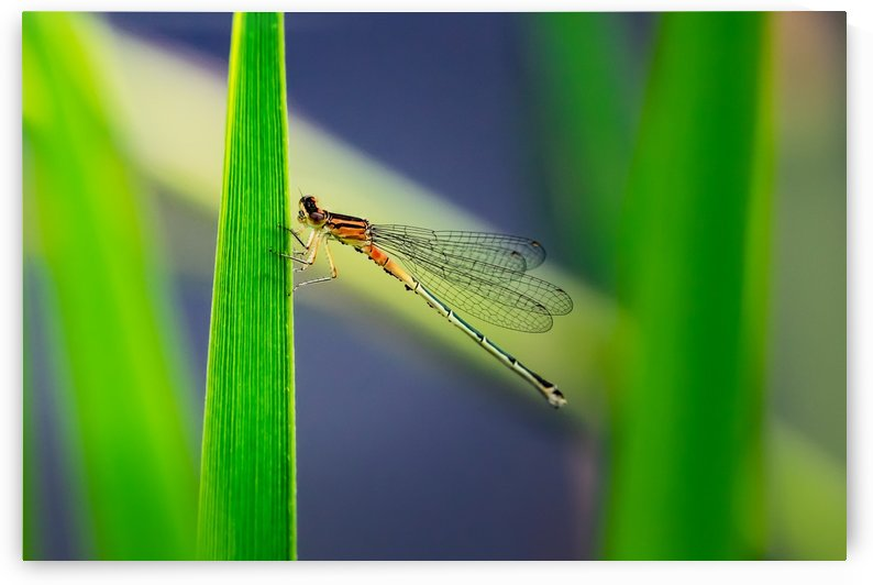 Dragon Fly by RBA Photography