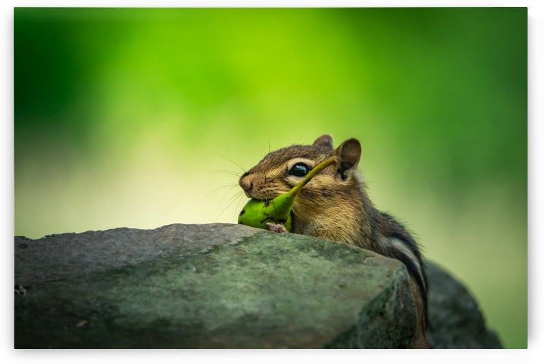 Chipmunk with pear by RBA Photography