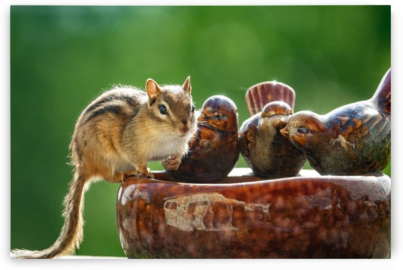 Chipmunk at Bird Bath by RBA Photography