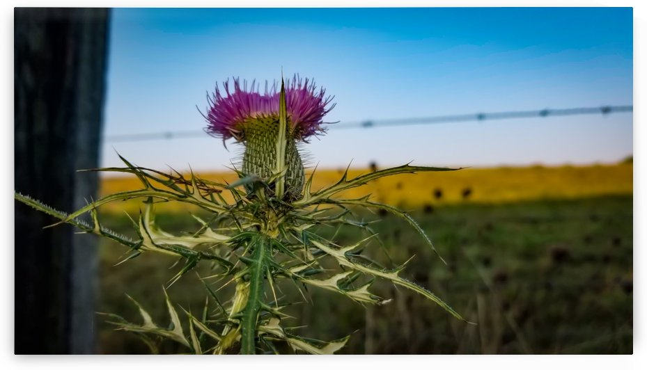 Smoky Mountain Thistle by RBA Photography