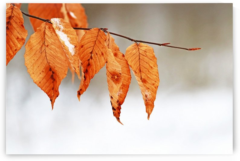 Snow Kissed Beech Leaves by Deb Oppermann