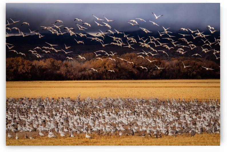 Snowbird Migration by James Radford