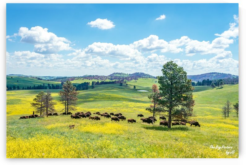 Custer State Park Bison Fields by The Big Picture by JD