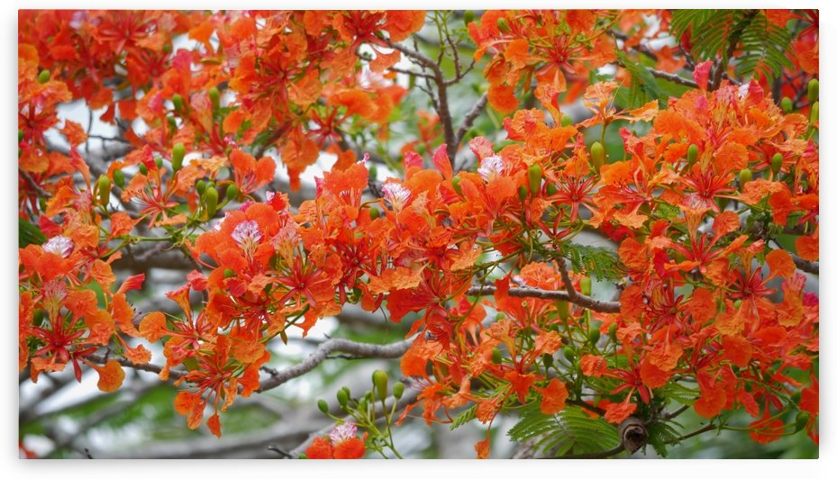 Flame tree flowers by On da Raks