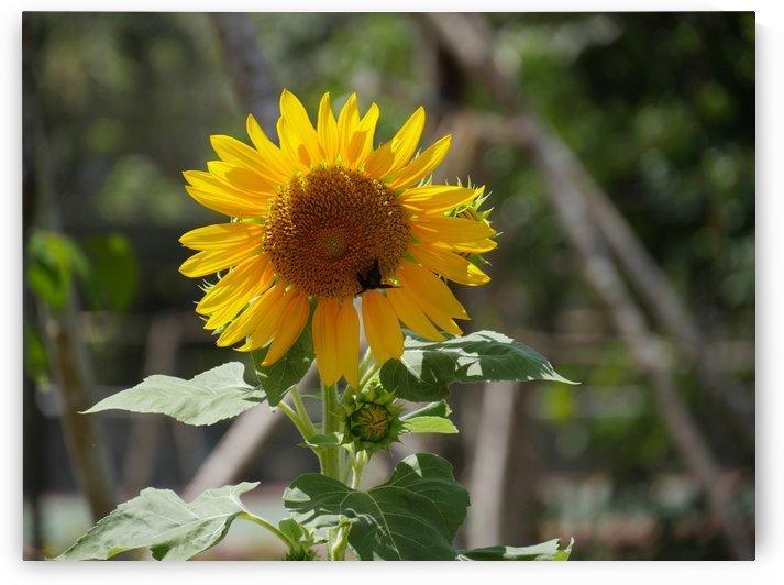 Close up of Sunflower by On da Raks