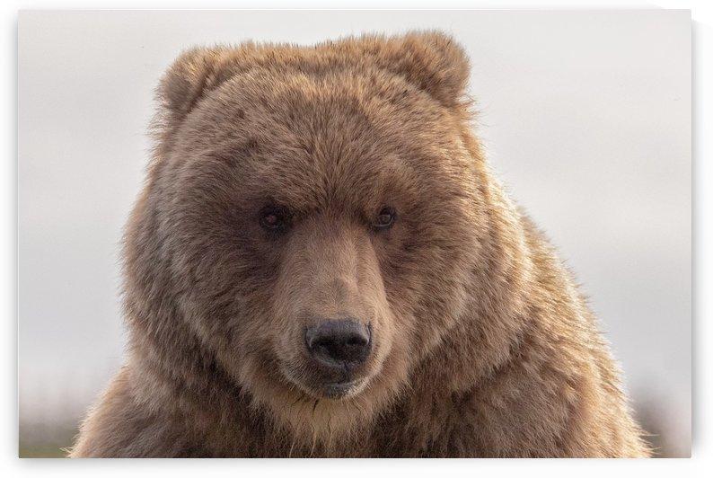Brown bear portrait by Kevin Barrett