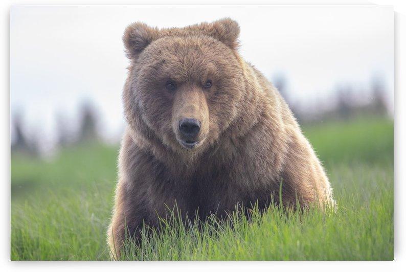 Brown bear portrait 2 by Kevin Barrett