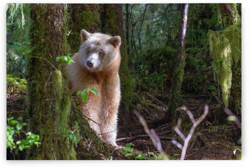Spirit Bear Maa 2 by Kevin Barrett