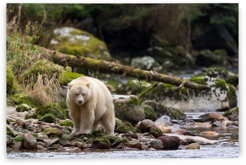 Boss in the Great Bear Rainforest 3 by Kevin Barrett