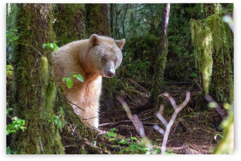 Spirit Bear Maa by Kevin Barrett