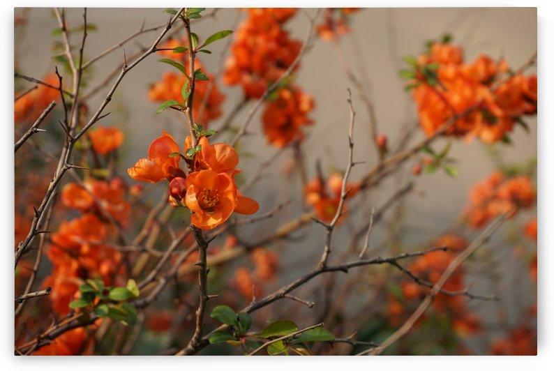 Orange Flower by Sianna Lay