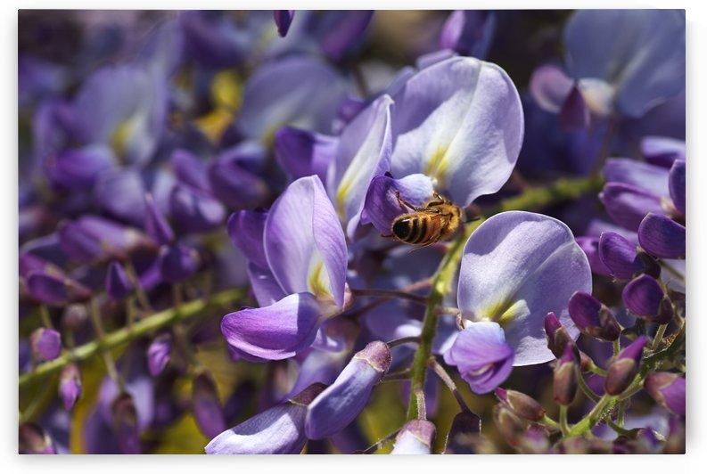 Bee Loving Wisteria by Joy Watson