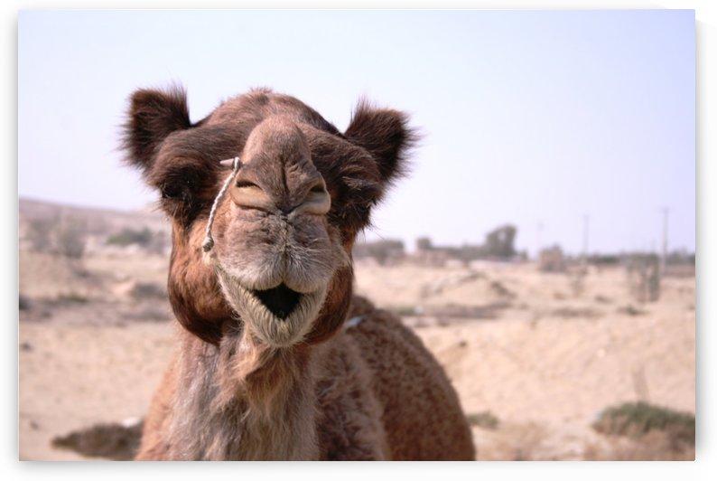 Qeshm   Camel 2 by Locspics