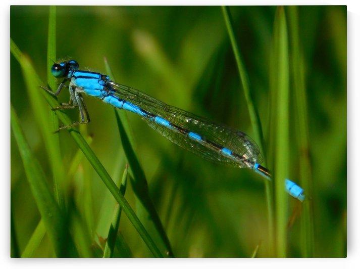 blue damselfly by Debbie Caughey