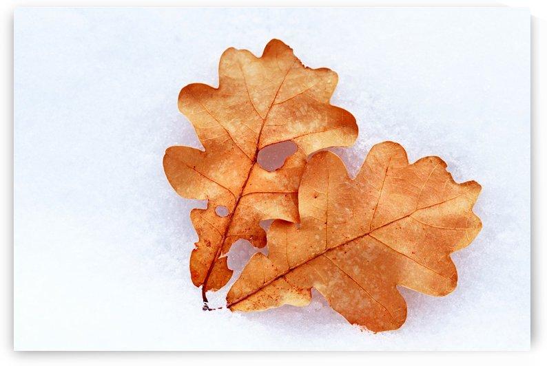 Oak Leaves On Snow by Deb Oppermann