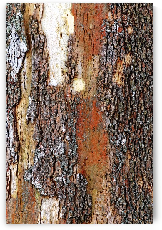 Colors Of Eastern Sycamore by Deb Oppermann