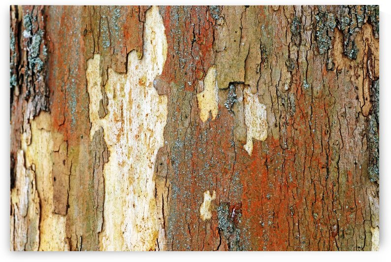 Colors Of Eastern Sycamore I by Deb Oppermann