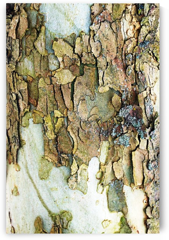 Colors Of Eastern Sycamore II by Deb Oppermann