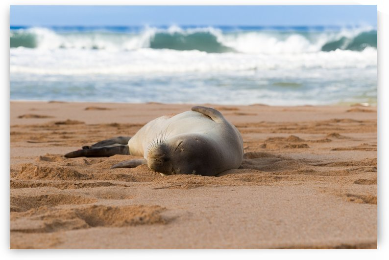 Snoozing monk seal by Kevin Barrett